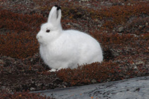 The weak link in the camouflage of the Snowshoe Hare